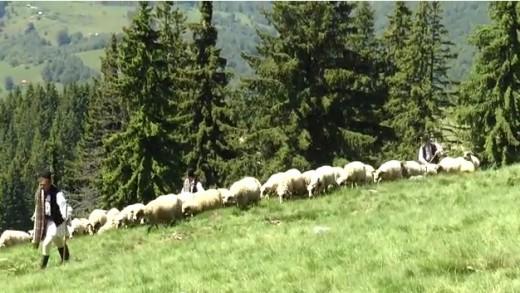 Măsuratul oilor la stâna din Parâng